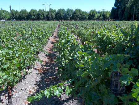 Photo pour Fields of vineyards in central Chile. Growing grapes for industrial use: wine.  The Chilean wine industry is the 7th world producer and the biggest exporter of South America. - image libre de droit