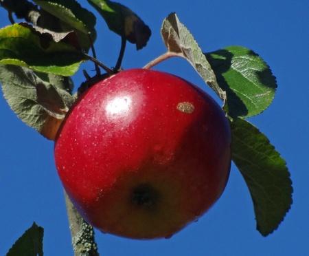 Adam´s Apfel