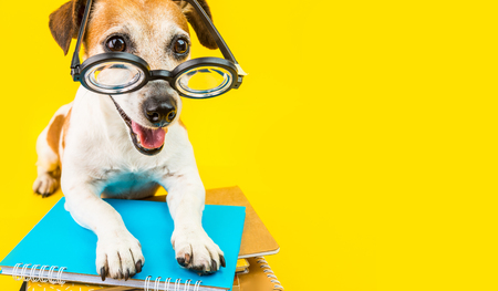 Photo pour Happy back to school dpg yellow background. Nerd style in glasses. Lovely pet Jack russell terrier - image libre de droit