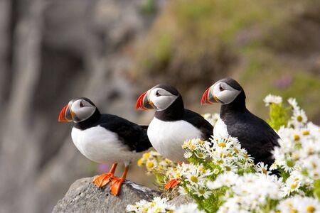 Three Atlantic puffins on rocky, coastal cliffs admid surprising blossoming daisies