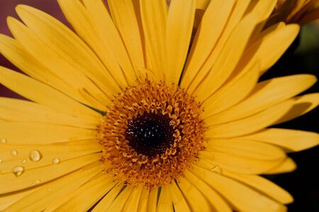 Gerbera, an annual flowering plant, shows off its golden petals like autumn rays touched with cool dew drops;