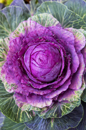 Outdoor planting displays a brightly colored ornamental cabbage adding practical, winter color to landscaping.  Popular winter annual adds texture and brightness to garden bed and fall planting scheme.