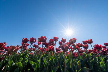 Photo for red orange tulip flowers, fresh flower field in the Noordoostpolder Netherlands Flevoland - Royalty Free Image