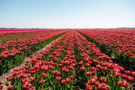 Photo for Tulip flower field in the Netherlands Noordoostpolder during sunset dusk Flevolands, colorful lines of tulips Europe - Royalty Free Image