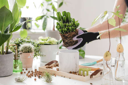 Woman gardeners transplanting cacti in ceramic pots on the white wooden table. Concept of home garden. Spring time. Stylish interior with a lot of plants. Taking care of home plants. Template.