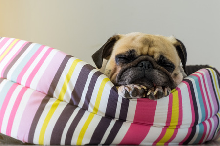 Wondrous Close Up Cute Dog Pug Puppy Sleep Resting On Her Bed And Machost Co Dining Chair Design Ideas Machostcouk