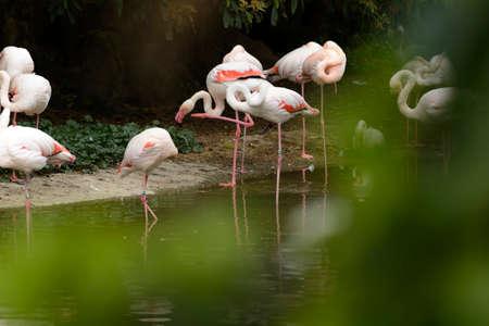 Group of flamingos