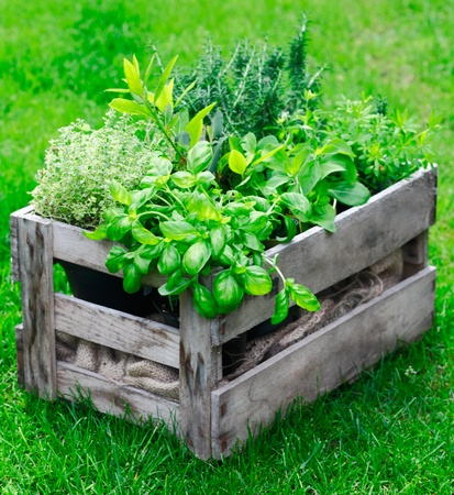 Rustic wooden crate on a lush garden lawn filled with fresh growing herbs as both an ornamental feature and for use in the kitchen