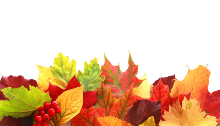 Colorful selection of a variety of autumn leaves in different shapes and colors forming a border over white copyspace for your text or Thanksgiving message with a sprig of red fall berriesの写真素材