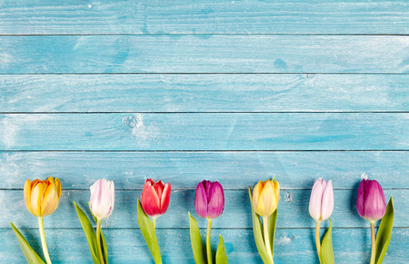 Border of fresh multicolored spring tulips arranged in a row on rustic blue wooden boards with copy space, symbolic of the spring season