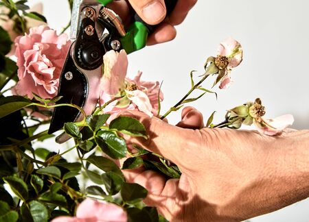 Man caring for a rose bush in his garden trimming off dead flowers with pruning shears during summer in a close up view of his hands and the tool against a white wall