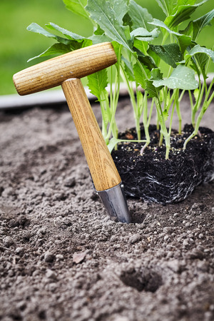 Photo pour Small augur for making holes in the freshly prepared soil and tray of nursery seedlings ready for transplanting in a close up view conceptual of spring - image libre de droit