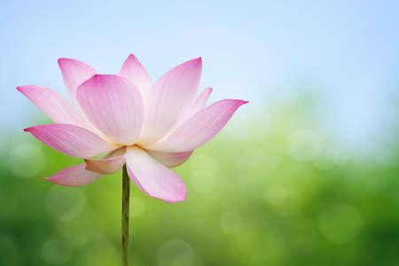 Foto für Lotus blossom - Lizenzfreies Bild