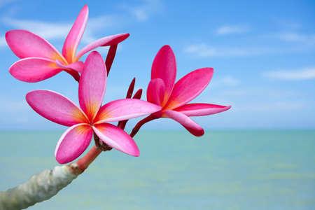 Foto de Plumeria flowers on the beach - Imagen libre de derechos