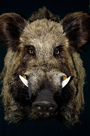 wild boar in black