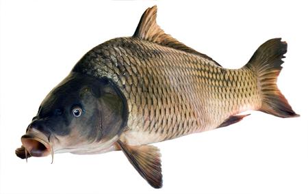Foto de River fish big carp isolated on white background - Imagen libre de derechos