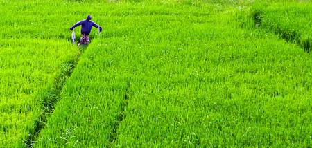 Foto de Hayman Scarecrow in a rice paddy, green rice field terraced landscaped farm - Imagen libre de derechos