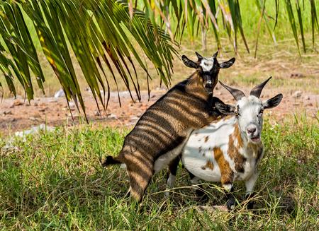 Photo pour Goat stand in Green Meadow Grass field - image libre de droit