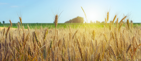 Photo pour Wheat crop field summer landscape. Agriculture harvest wheat with blue sky field of ripe ears of wheat backdrop. - image libre de droit