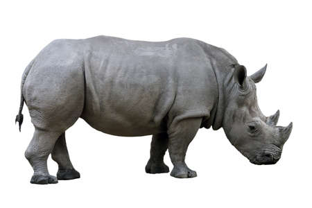 Photo pour Rhino nose two horn isolated on white background - image libre de droit