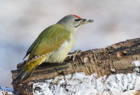 Gray woodpecker closeup portrait.Grey headed woodpecker in winter view.