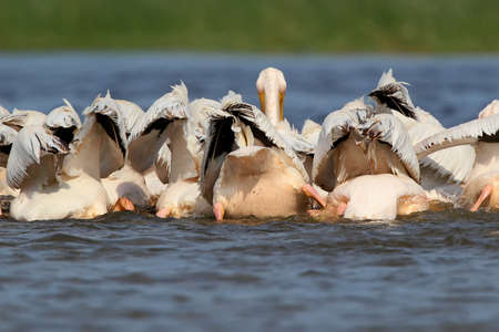A flock of white pelicans collectively hunts in the waters of the Danube. Birds gather in a dense flock and chase fish in shallow water