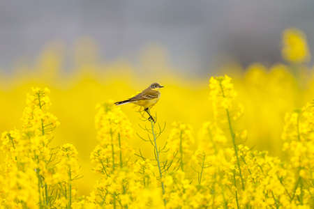 Photo pour Different wagtails sit on incredibly yellow rapeseed branches beautiful pictures - image libre de droit