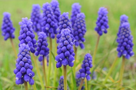 Grape hyacinth  Viper bow  spring flowers against green, blurred background, horizontal orientation