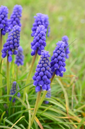 Grape hyacinth  Viper bow  spring flowers against green, blurred background, vertical orientation
