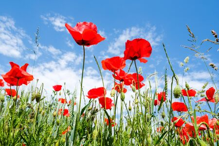 Photo pour Frog perspective shot from beautiful red poppies on the edge of a wheat field with a beautiful blue sky with white clouds as background. - image libre de droit