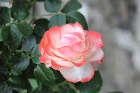 Rose flower white pink