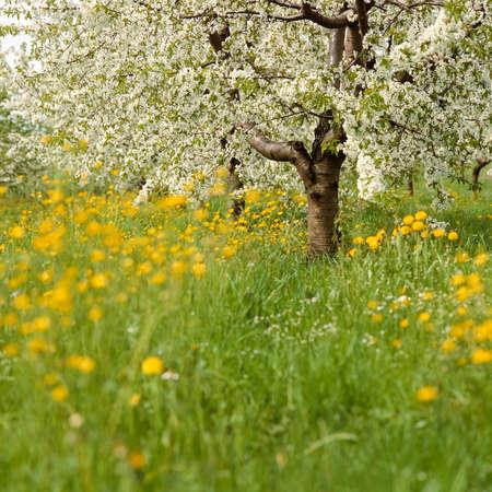 flowering fruit trees and meadow in spring
