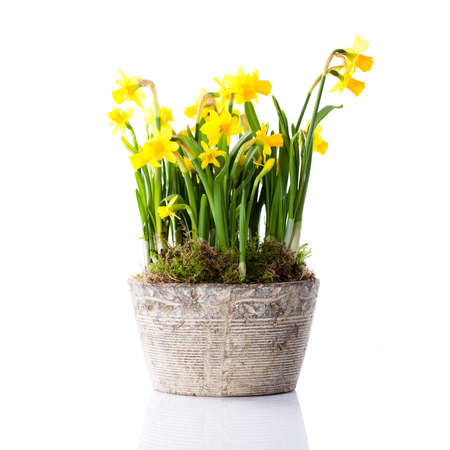 Narcissus in a flower pot
