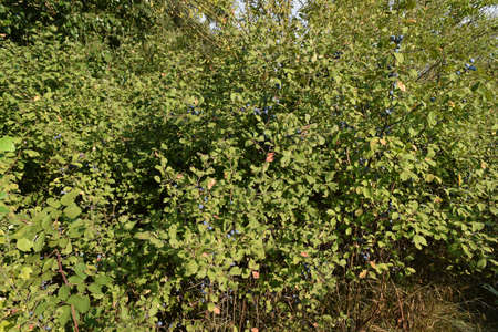 Berries of wild plum - a sloe. Wild fruit in the nature.