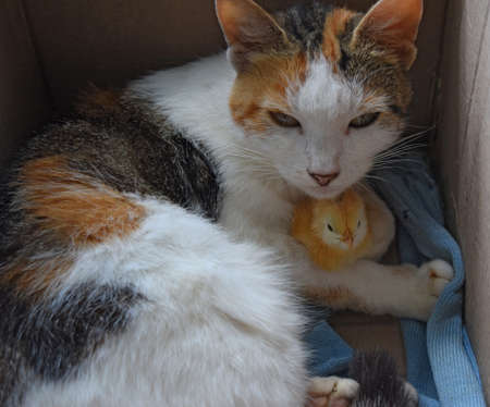 Cat warms chicken. Cat takes a chicken for her cub.