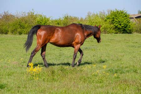 Horses graze in the pasture. Paddock horses on a horse farm. Walking horses.