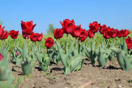 Red flowers of tulips on a flower bed. A flower bed with tulips.