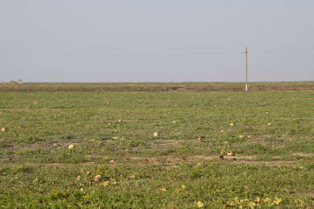 An abandoned field of watermelons and melons. Rotten watermelons. Remains of the harvest of melons. Rotting vegetables on the field