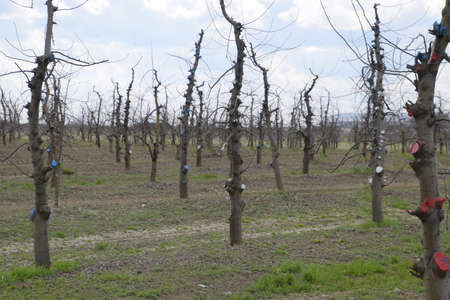 Foto für Apple trees in the garden, pruning apple trees, protecting cut branches with paint coating. - Lizenzfreies Bild
