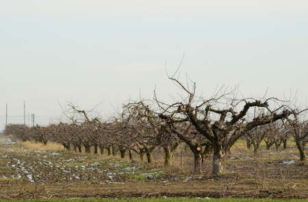 Foto für Cropped trees in the apple orchard. Care orchard, pruning trees. - Lizenzfreies Bild