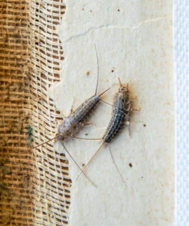 Photo pour silverfish thermobia near the binding of an old book. Insect feeding on paper - silverfish, lepisma. Pest books and newspapers. - image libre de droit