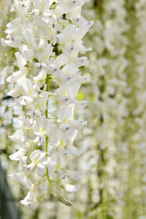flowers white wisteria