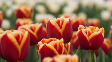 Several tulips from the Netherlands