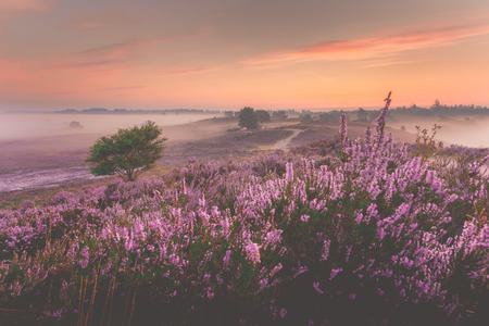 Sunrise over Dutch heath landscape with flowering heather, Netherlands
