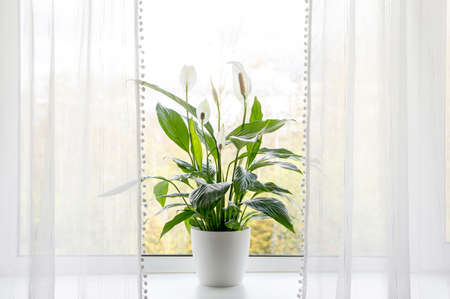 Photo pour Air puryfing house plants in home concept. Spathiphyllum are commonly known as spath or peace lilies growing in pot in home room and cleaning indoor air. - image libre de droit