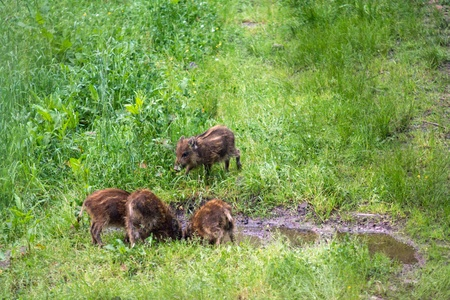 Wild boars in the nature