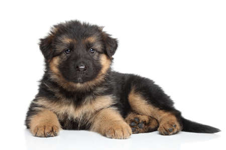German shepherd puppy  2 month  on a white background