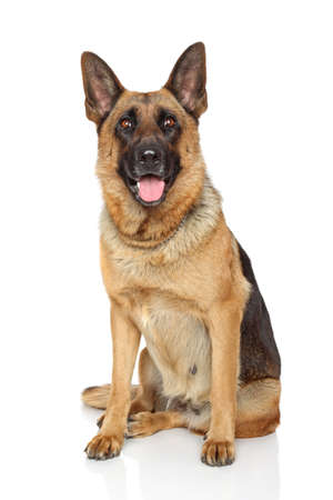 German Shepherd dog sits on white background