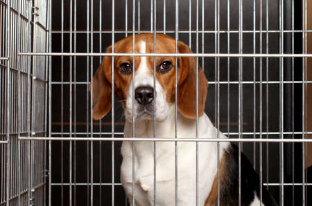 Photo for Sad Beagle dog sits locked in a cage - Royalty Free Image