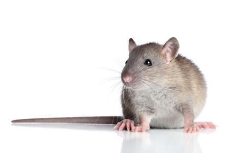 Rat sits on a white background